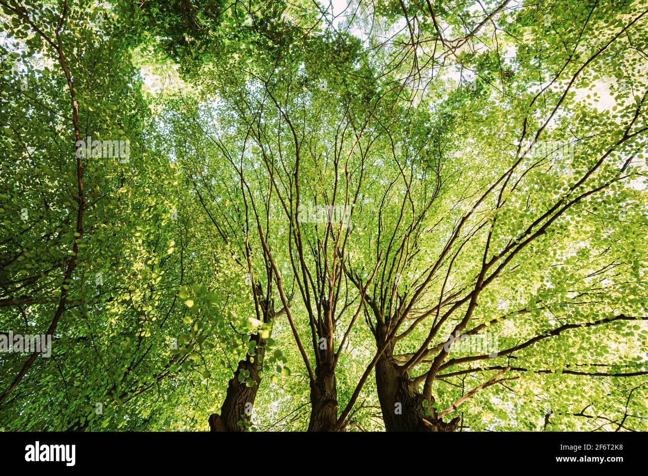 Ciel vert d'été de grands arbres. Forêt à feuilles caduques, nature d'été à Sunny Day. Branches supérieures de l'arbre avec feuillage vert frais. Vue en angle bas. Banque D'Images