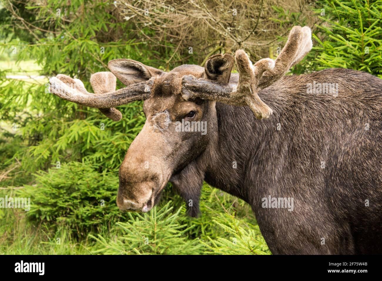 Elchbulle in einem Wildpark in Schweden - wapiti taureau in Un parc animalier en Suède Banque D'Images