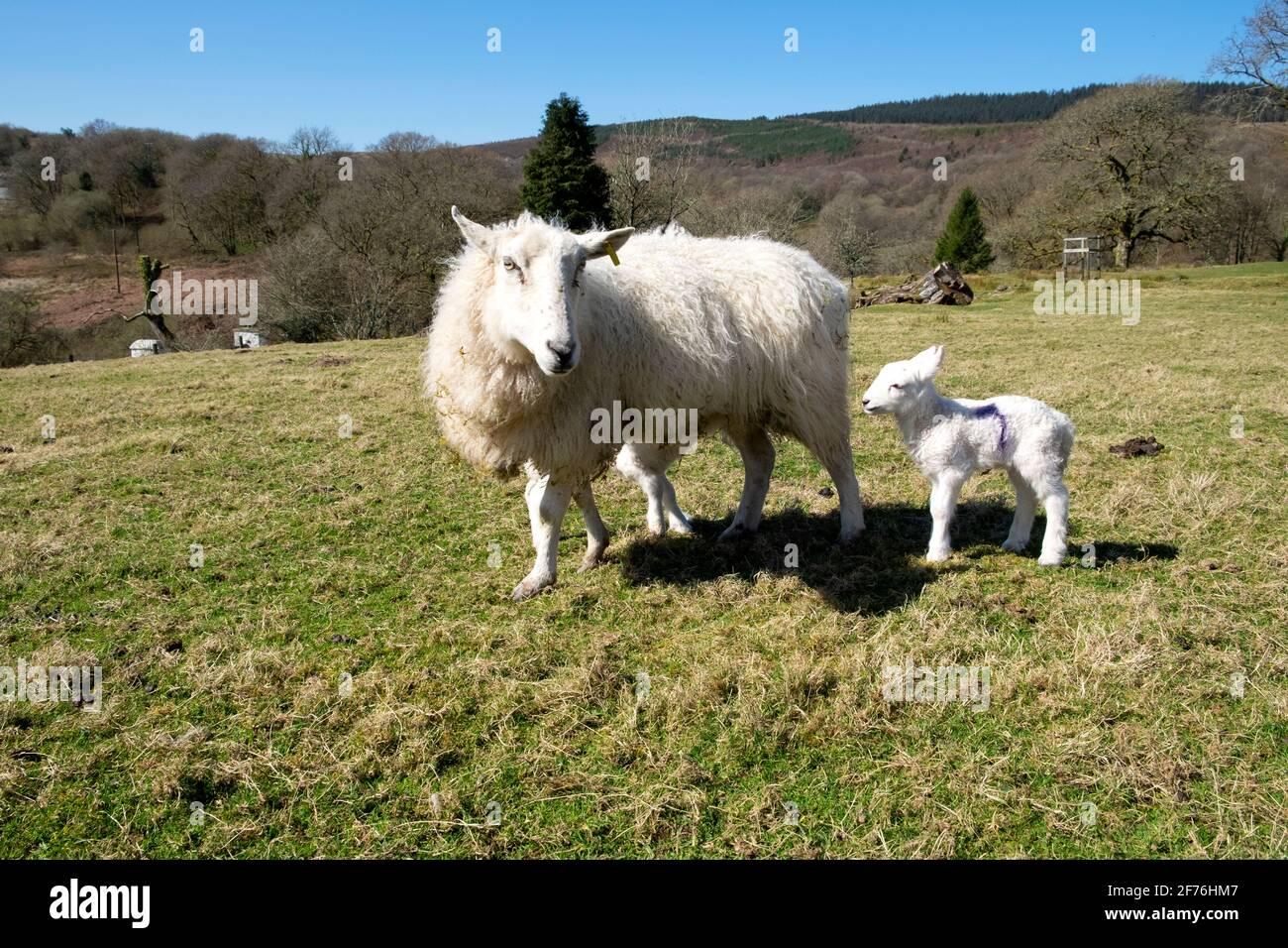 Brebis mère allaitant la brebis et le bébé agneau Banque D'Images