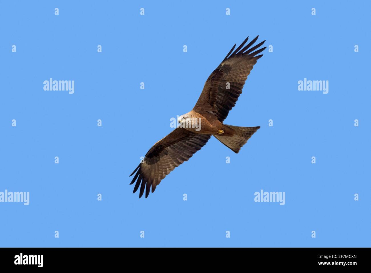 Cerf-volant noir (Milvus migrans) en vol contre le ciel bleu Banque D'Images