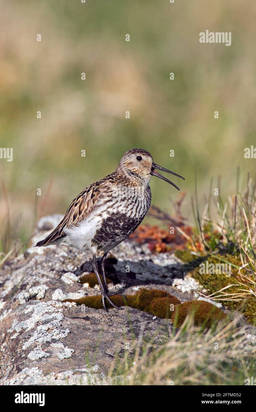 Dunlin (Calidris alpina schinzii) dans le plumage de reproduction appelant de la roche dans les prairies en été, Islande Banque D'Images