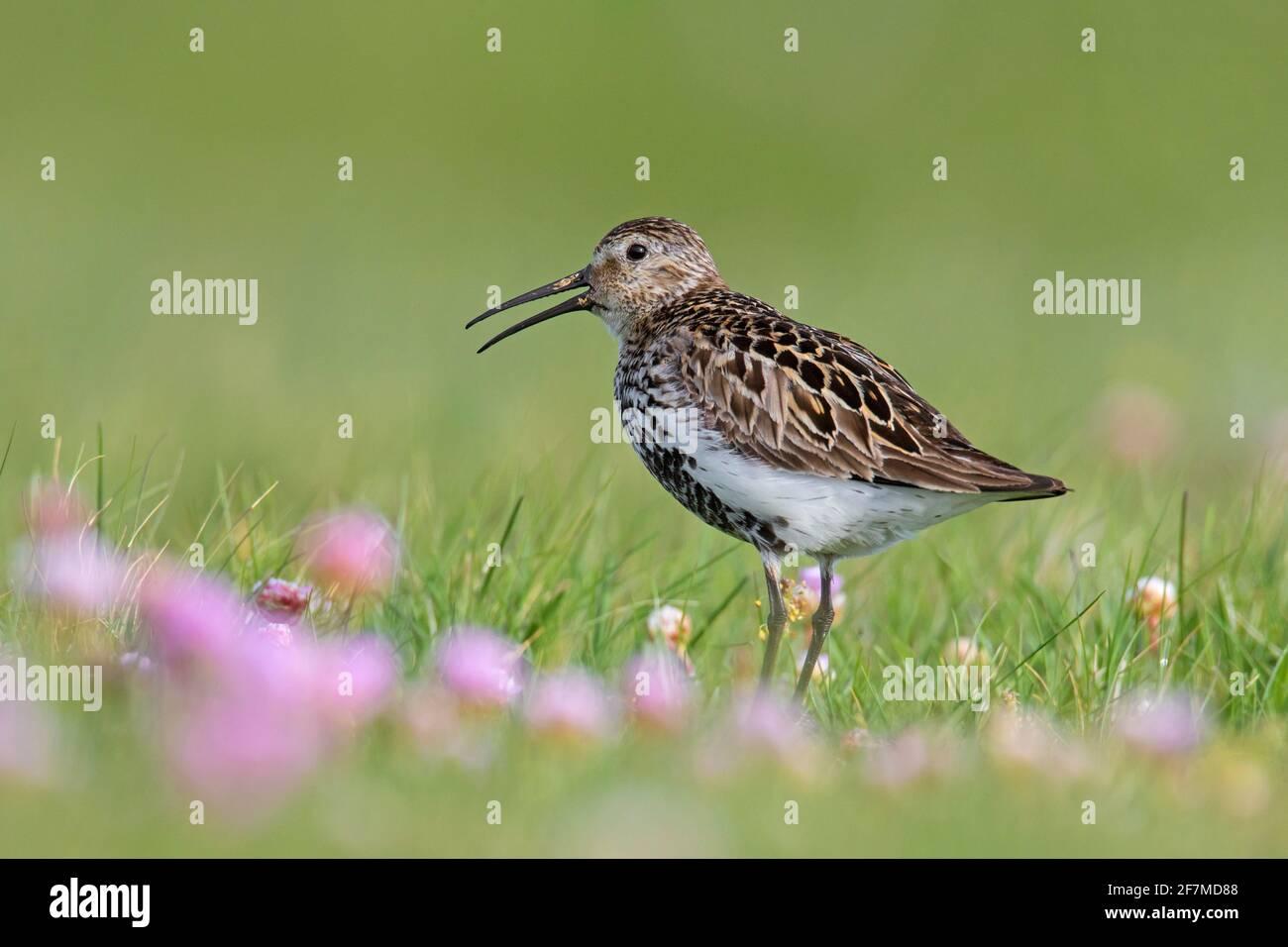 Dunlin (Calidris alpina schinzii) dans la reproduction plumage appelant dans les prairies avec thrift de mer / rose de mer floraison en été, Islande Banque D'Images
