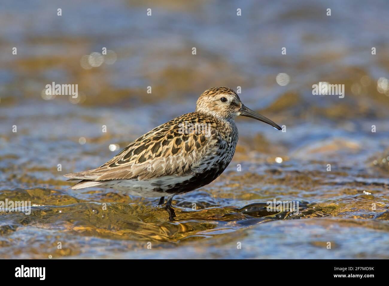 Dunlin (Calidris alpina schinzii) dans la reproduction de plumage en eau peu profonde en été, Islande Banque D'Images