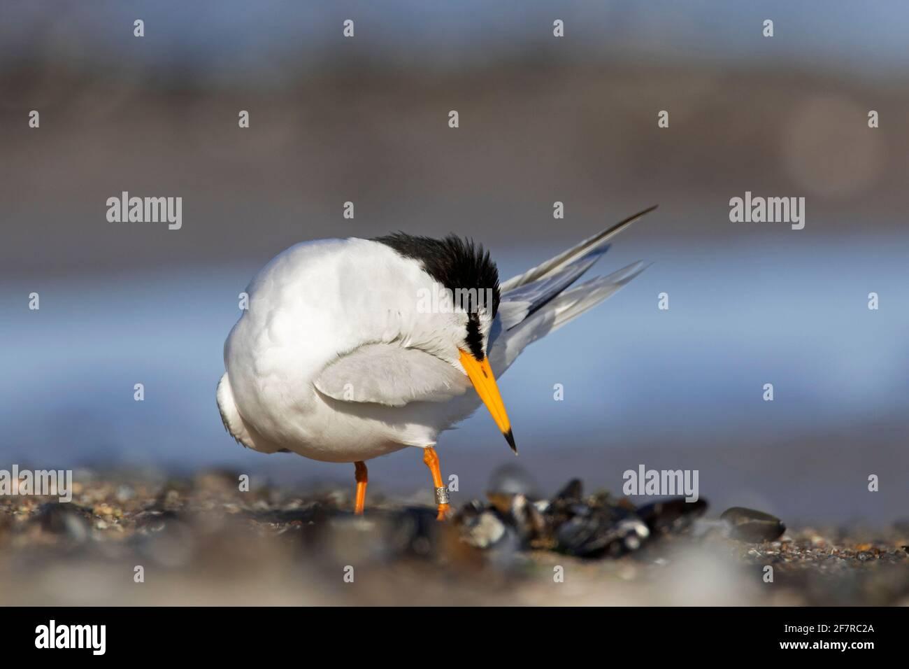 Petite sterne (albifrons de Sternula / albifrons de Sterna) le préage des plumes sur la plage Banque D'Images