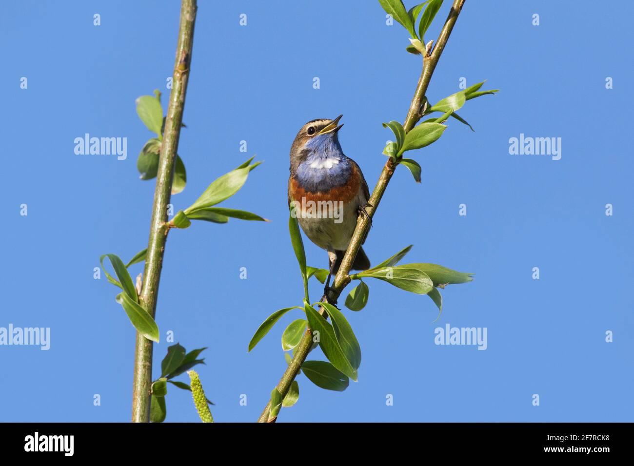 Bleuet à pois blancs (Luscinia svecica cyanula) homme perché dans un arbre et appelant/chantant au printemps Banque D'Images