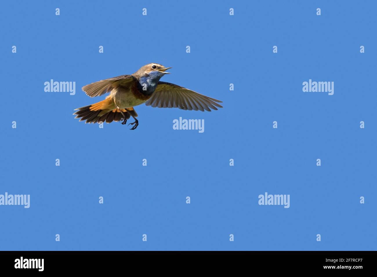 Bleuet à pois blancs (Luscinia svecica cyanula) homme en vol appelant / chant au printemps Banque D'Images