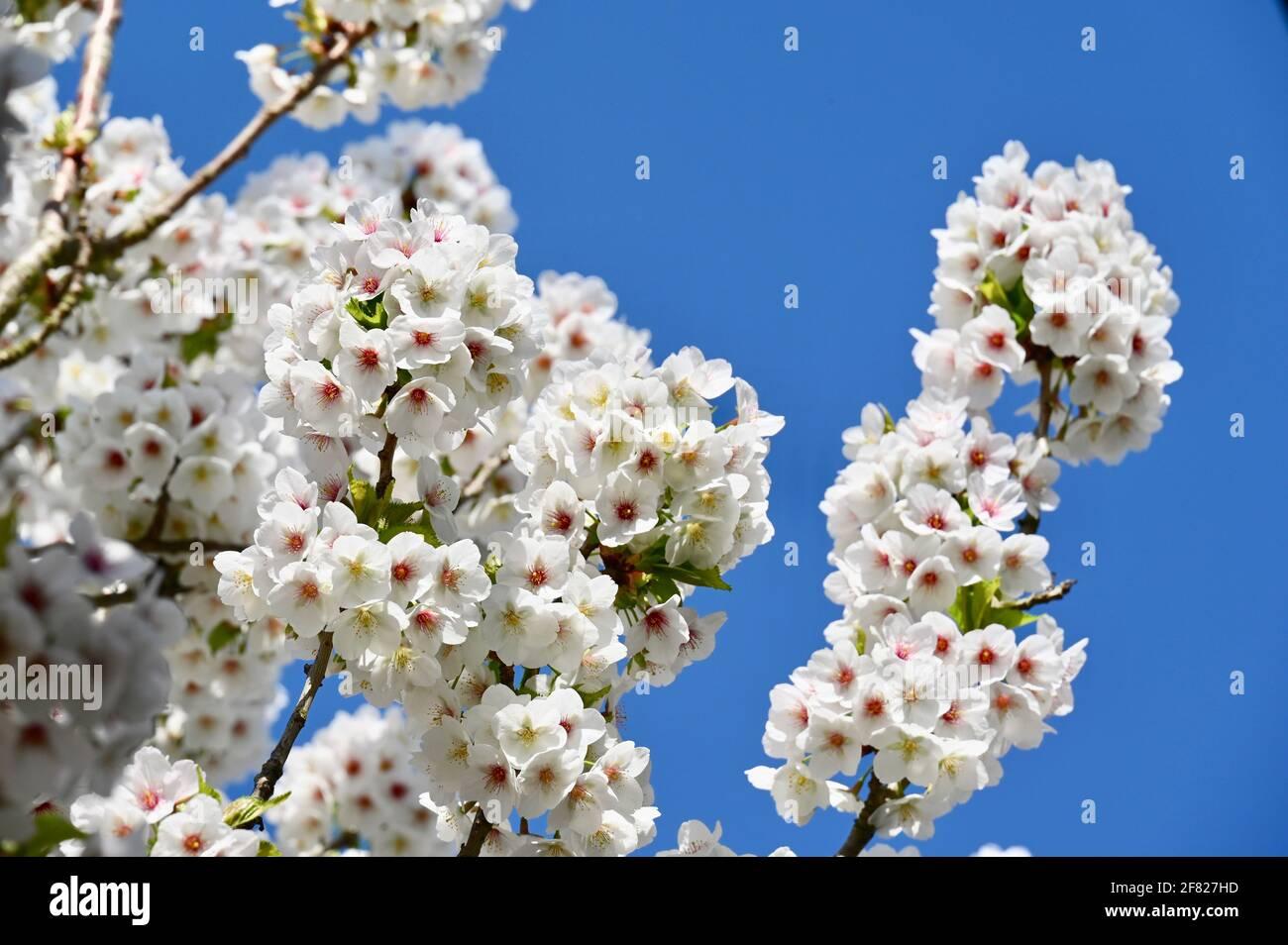 Fleurs, Sidcup, Kent. ROYAUME-UNI Banque D'Images