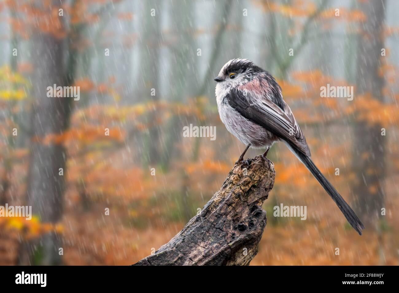 Tit à longue queue humide / bushtit à longue queue (Aegithalos caudatus) perchée sur une souche d'arbre dans la forêt d'automne lors d'une douche à effet pluie Banque D'Images