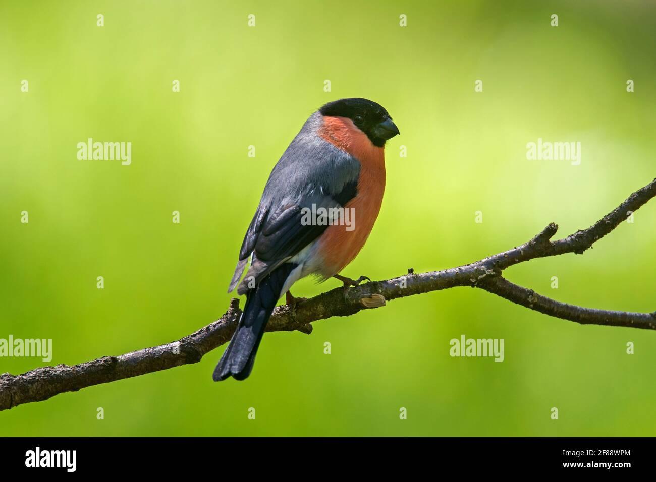 Canard colvert / Pyrrhula pyrrhula Bouvreuil (commune) mâle perché dans l'arbre Banque D'Images