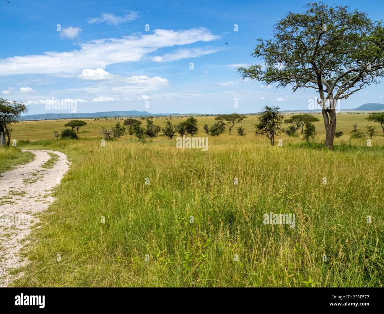 Parc national du Serengeti, Tanzanie, Afrique - 29 février 2020 : arbre dans les prairies du Serengeti Banque D'Images