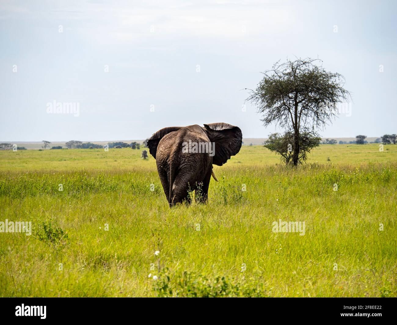 Parc national de Serengeti, Tanzanie, Afrique - 29 février 2020 : arrière d'un éléphant en marche, parc national de Serengeti Banque D'Images