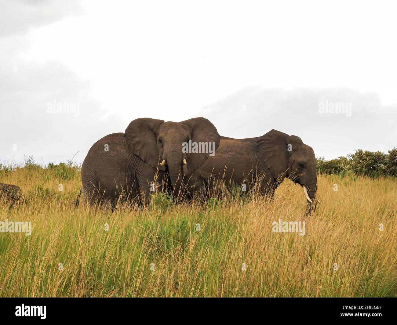 Masaai Mara, Kenya, Afrique - 26 février 2020 : éléphants d'Afrique en herbe sur Safari, réserve de jeux Masaai Mara Banque D'Images