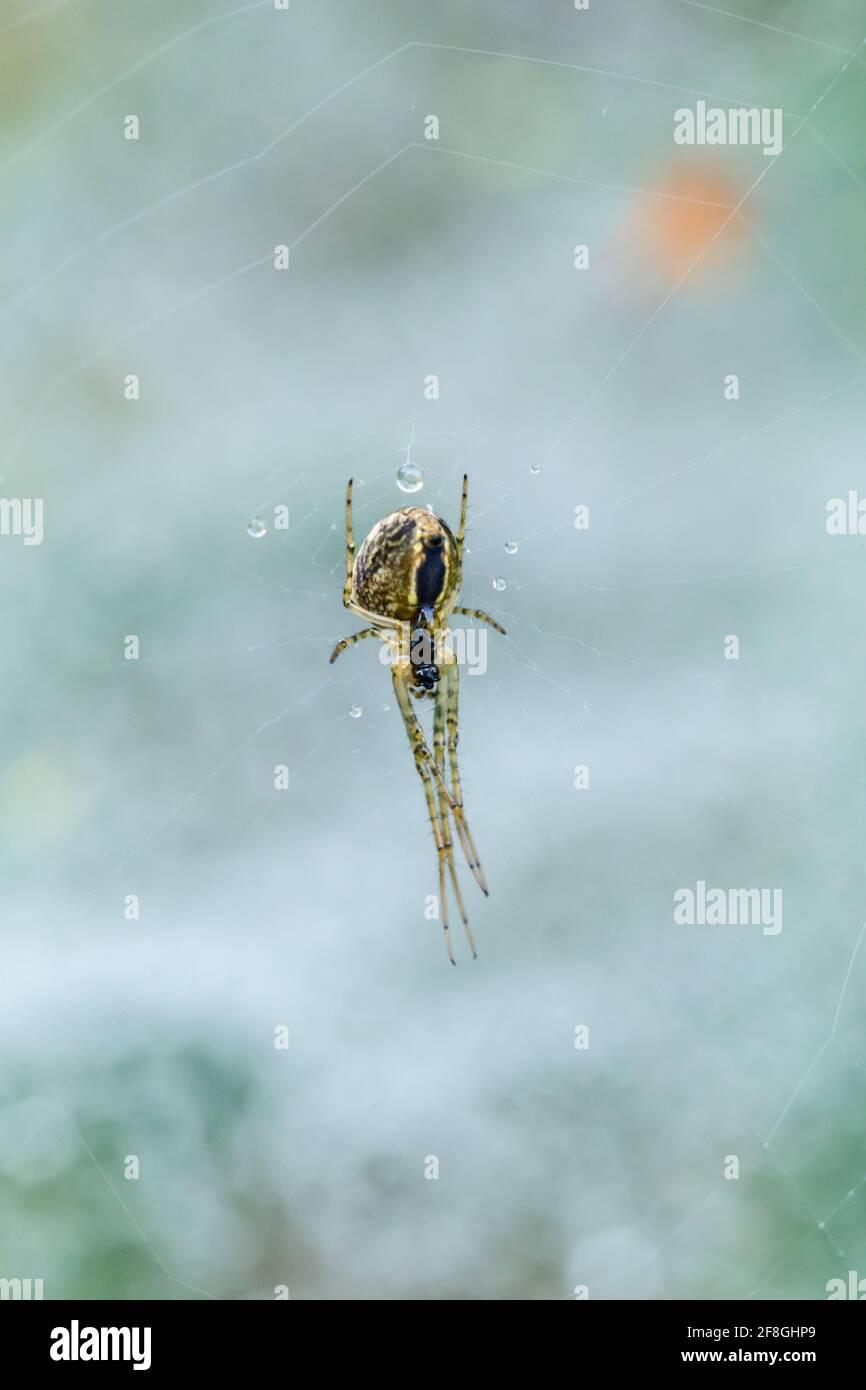 Araignée Orb-Weaver commune Metemmina Ssegmentata suspendue et attachée dans son web dans les Highlands d'Écosse Banque D'Images