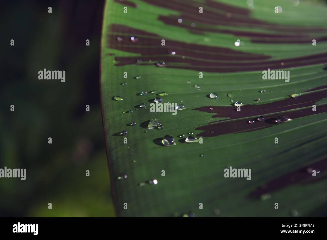 Feuille verte avec gouttes d'eau dans la lumière du soleil. Texture d'arrière-plan de la nature. Mise au point sélective Banque D'Images