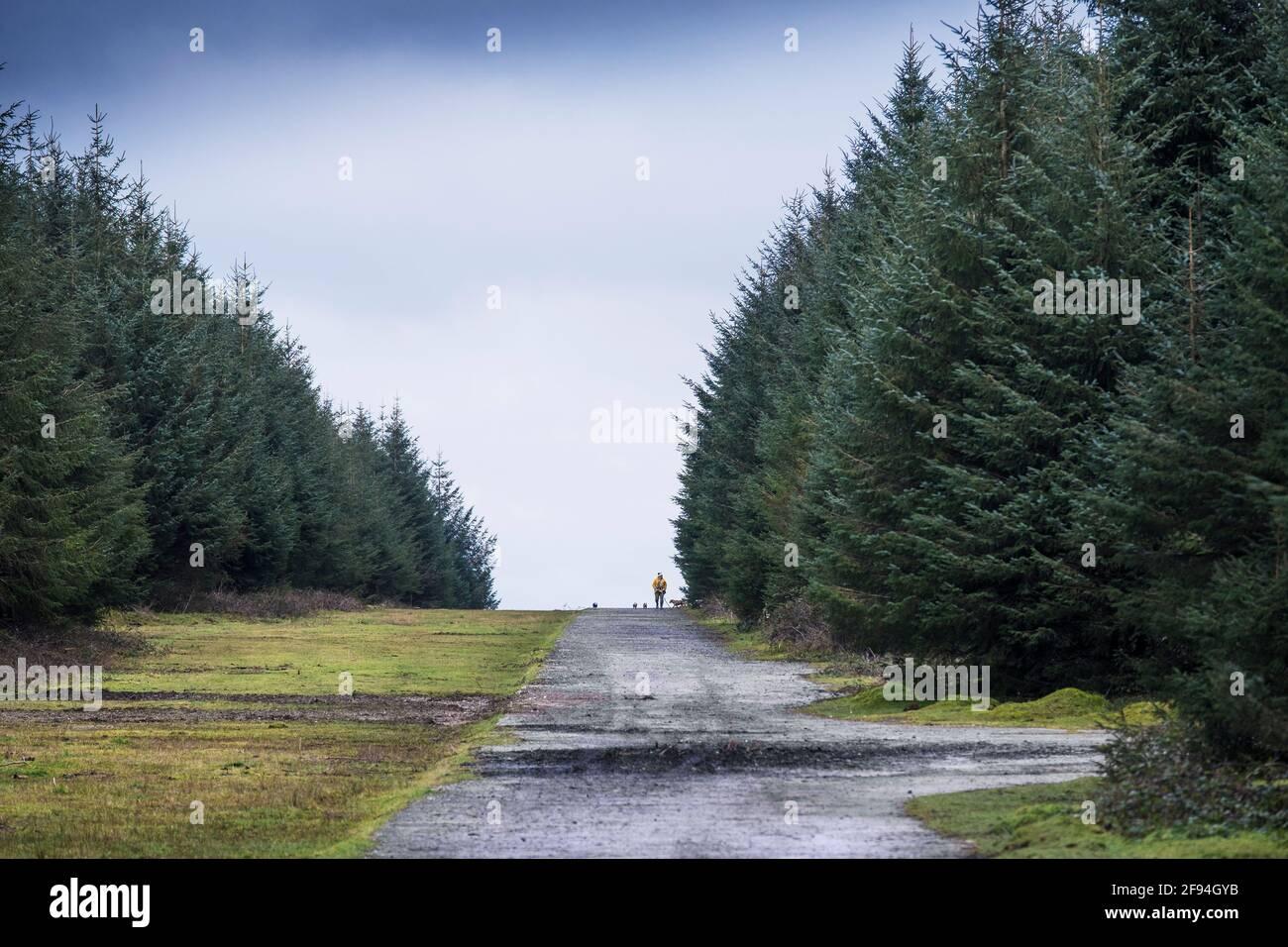 Une marchette de chien marchant ses chiens sur une vieille route sur les restes de l'aérodrome de RAF Davidstow sur Bodmin Moor dans Cornwall. Banque D'Images