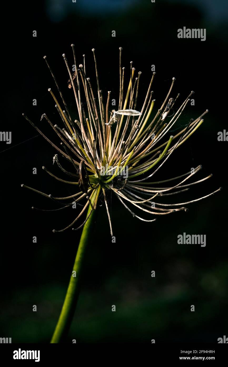 Les restes d'une tête de fleur d'Agapanthus en automne. Banque D'Images