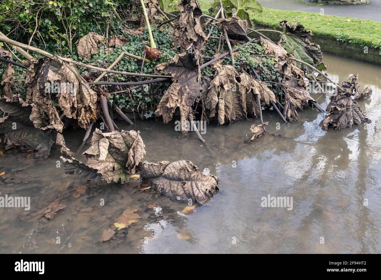 Les feuilles mortes et mourantes d'une manucata de Gunnera en automne. Banque D'Images