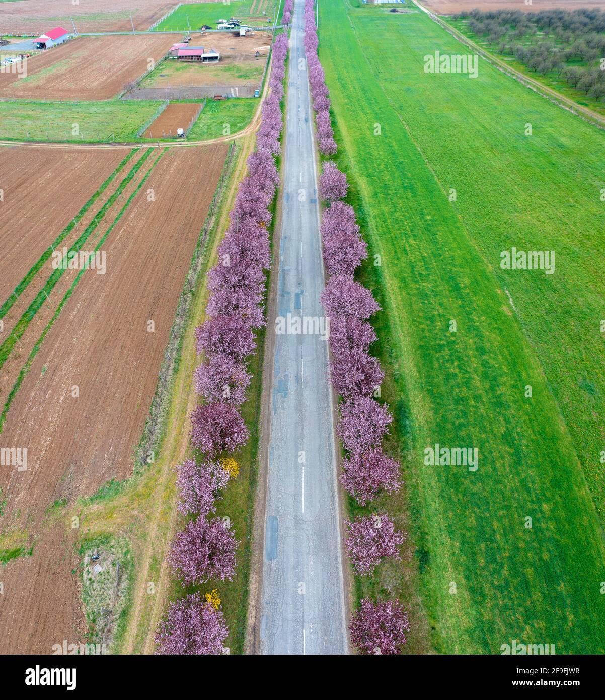 Berkenye, Hongrie - vue aérienne sur les magnifiques pruniers fleuris par la route. Paysage de lever de soleil de printemps, cerisiers en fleurs. Banque D'Images