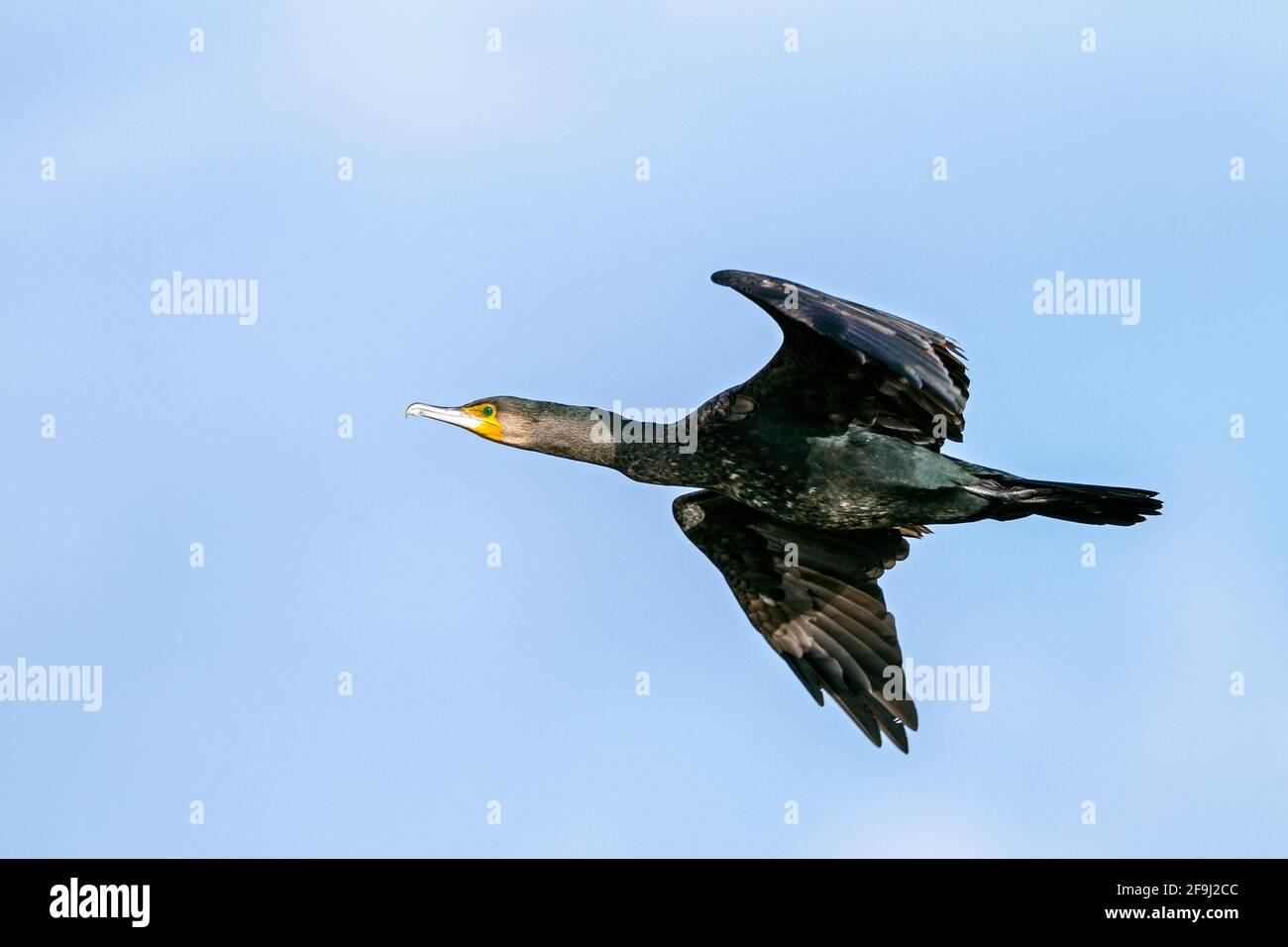 Grand Cormorant (Phalacrocorax carbo) dans le plumage non reproductif en vol. Allemagne Banque D'Images