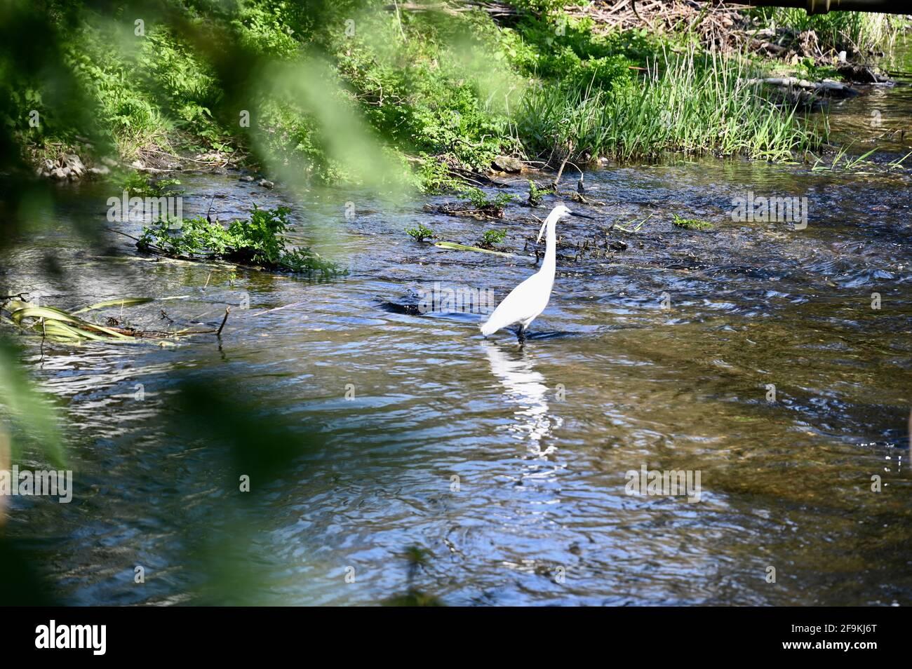 Little Egret, rivière Darent, Shoreham, Sevenoaks, Kent. ROYAUME-UNI Banque D'Images