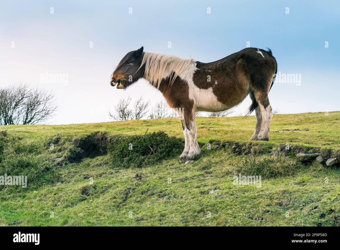 Un poney bodmin sauvage emblématique qui boit sur le bodmin Moor dans les Cornouailles. Banque D'Images
