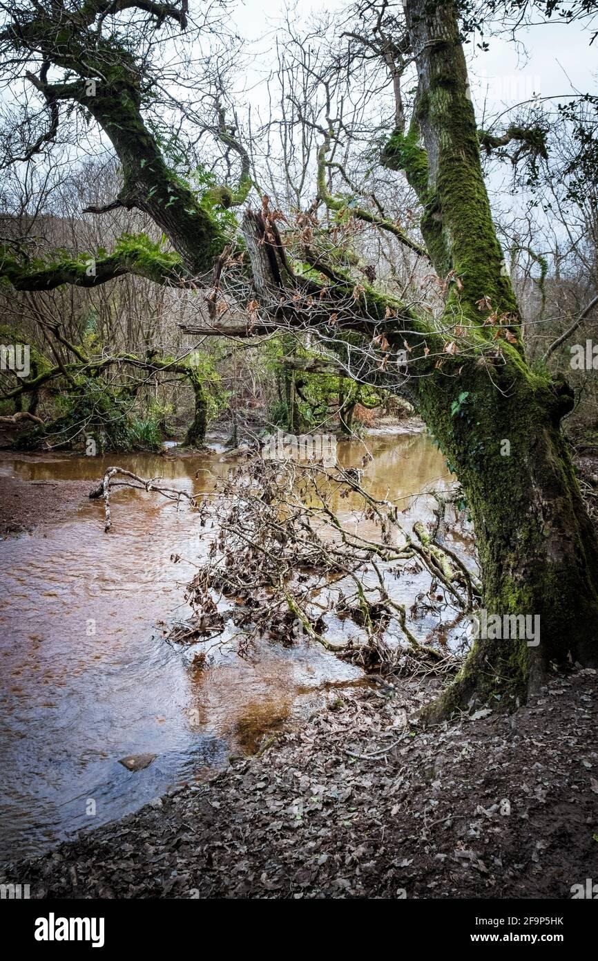 Une rivière qui coule à travers les forêts atmosphériques de Metha Woods dans la vallée de Lappa, près de St Newlyn East, dans les Cornouailles. Banque D'Images
