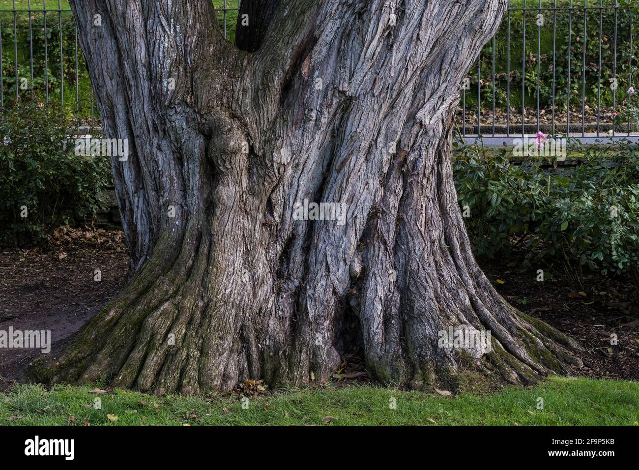 L'immense tronc de Cupressus macrocarpa Monterey Cypress dans les jardins de Trenance à Newquay, en Cornouailles. Banque D'Images