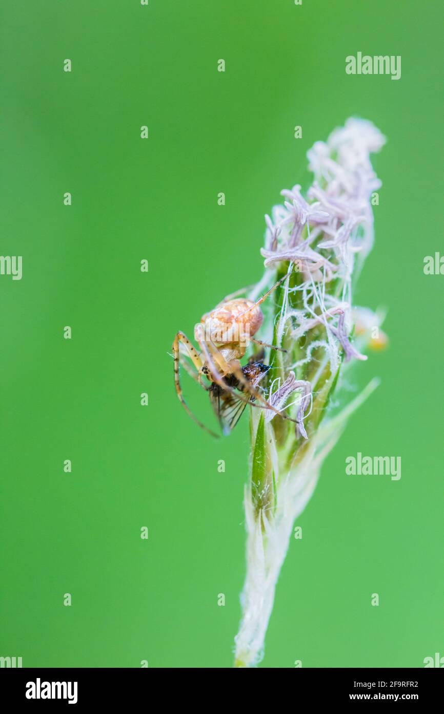 Araignée Ord weaver commune Metellina segmentata sur une graine d'herbe Dirigez-vous avec une mouche capturée dans les Highlands d'Écosse Banque D'Images