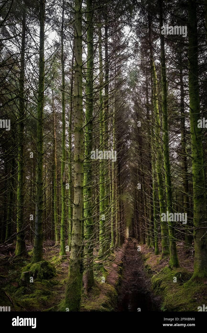 Sitka Spruce Trees - Picea sitchensis - sur la plantation d'arbres Davidstow Woods sur Bodmin Moor, en Cornouailles. Banque D'Images