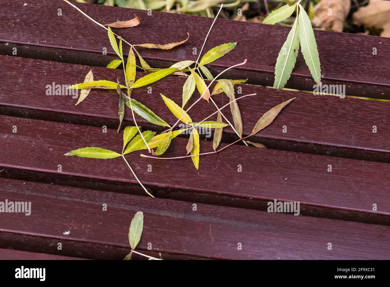 Feuilles de frêne couchée sur un banc. Banque D'Images
