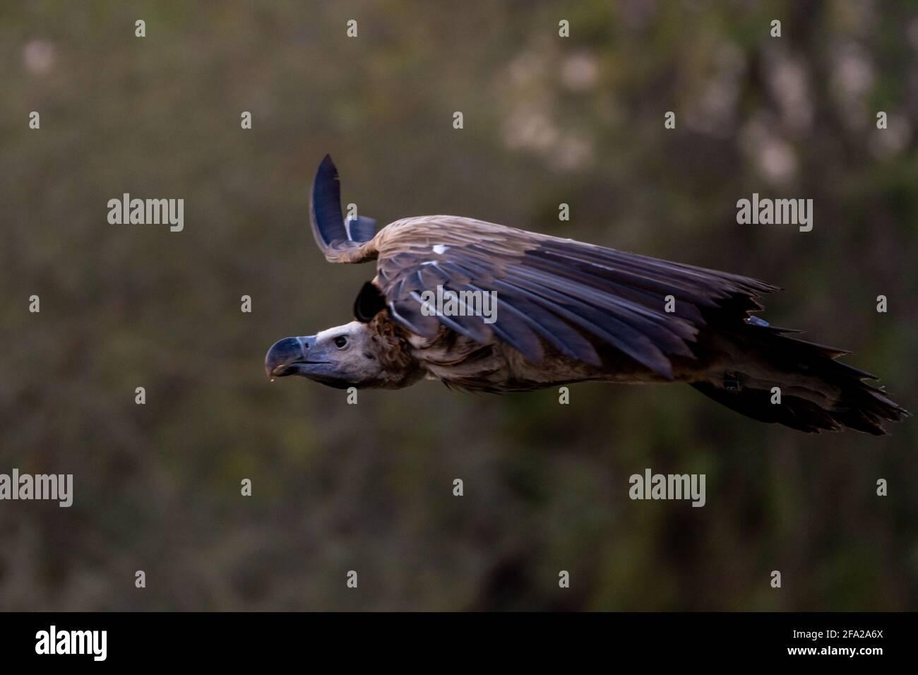 La vautour de griffon en vol (Gyps fulvus) qui s'envolent à travers les arbres. Les charognards en Afrique et au Moyen-Orient. Banque D'Images