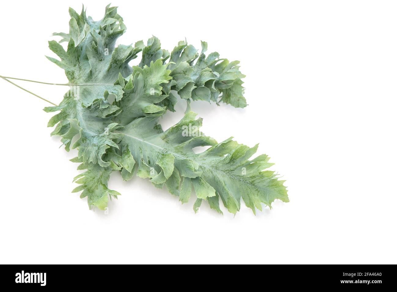 Feuilles de plante tropicale Phlebodium sur fond blanc Banque D'Images