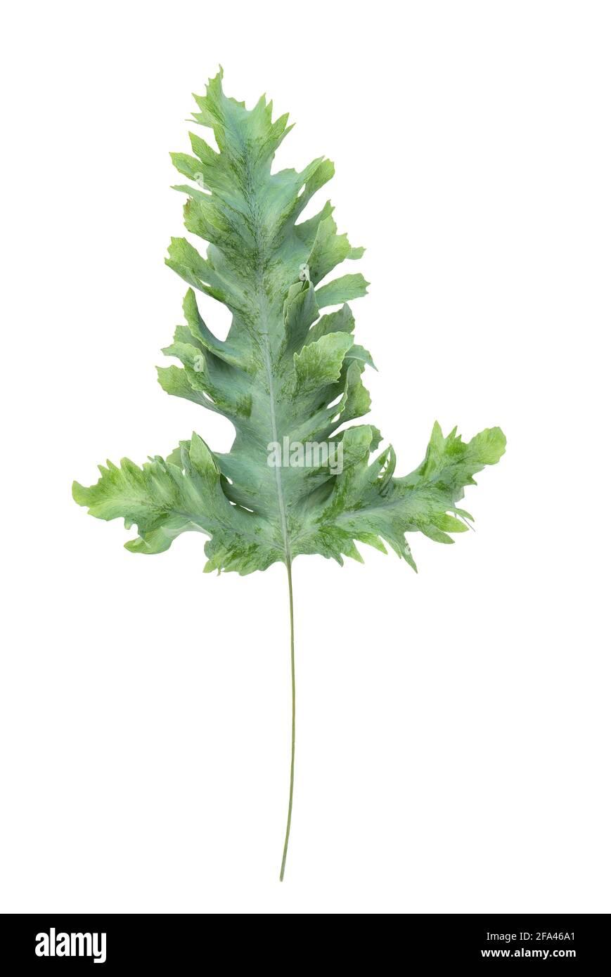 Feuille de plante tropicale Phlebodium isolée sur fond blanc Banque D'Images
