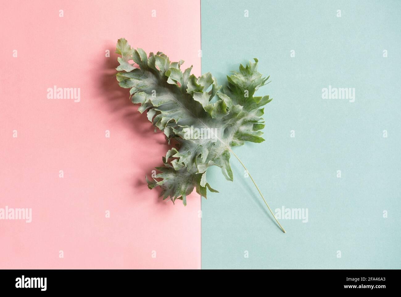 Feuille de Phlebodium verte sur fond bleu rose. Couche plate à motif fleuri minimaliste Banque D'Images