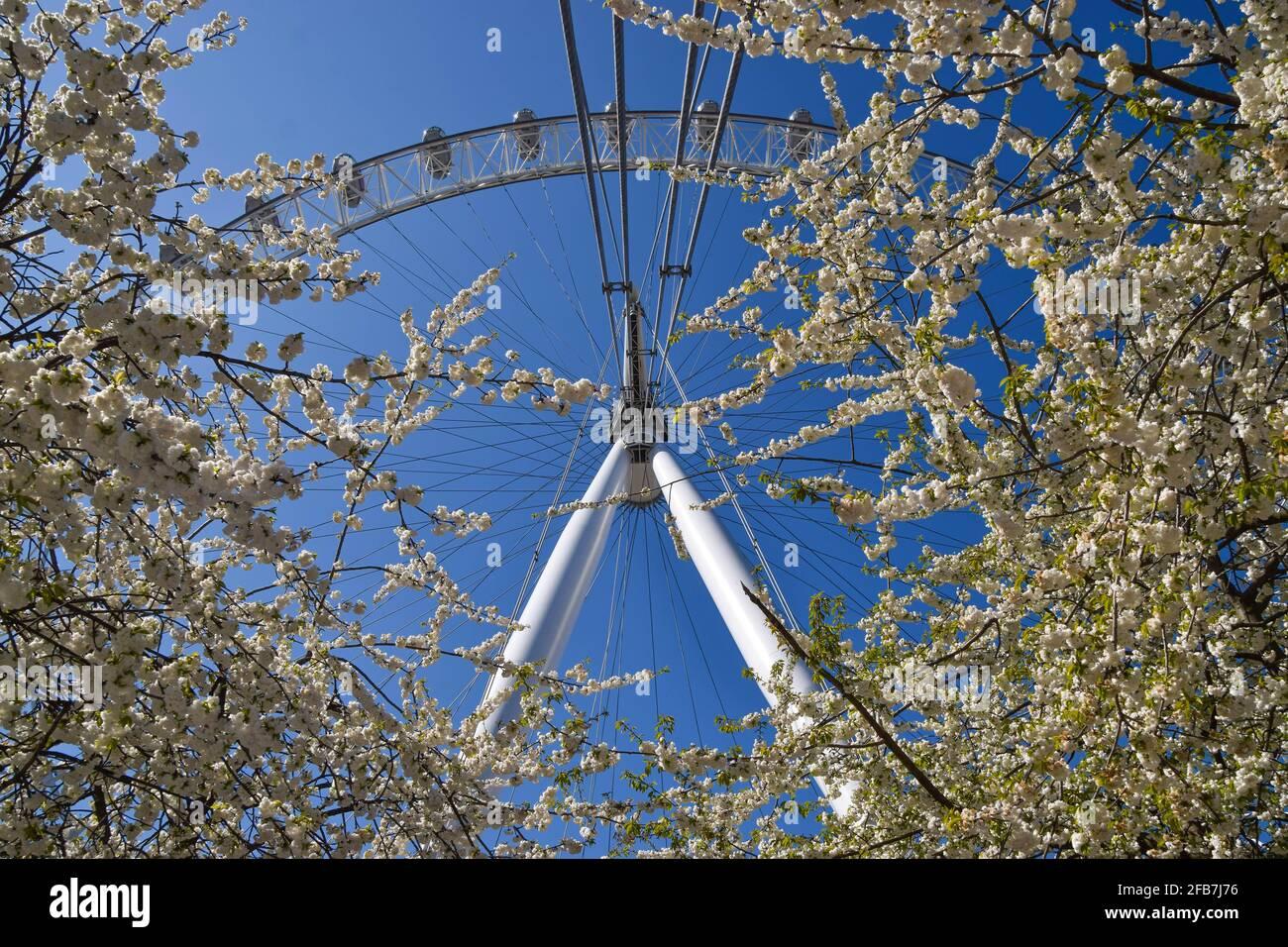 Londres, Royaume-Uni. 23 avril 2021. Le London Eye et les cerisiers en fleurs par temps chaud et clair. Credit: Vuk Valcic/Alamy Live News Banque D'Images