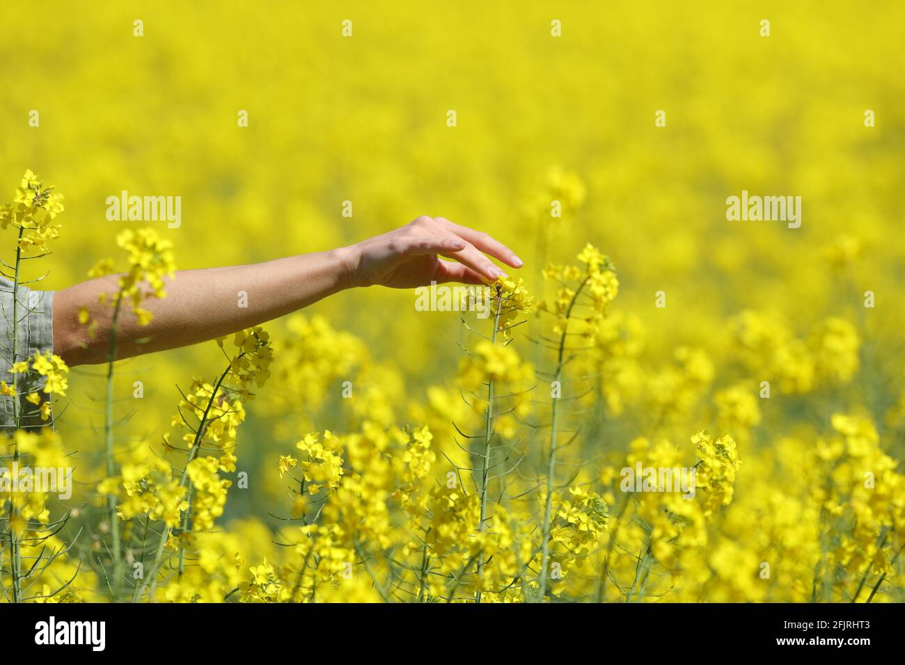 Gros plan d'une main de femme touchant des fleurs dans un champ jaune au printemps Banque D'Images
