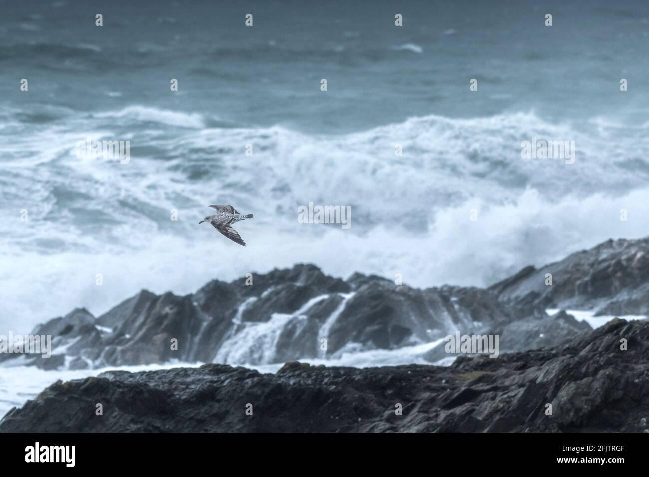 Un jeune mouette volant au-dessus de la mer et des rochers sur la côte à Newquay, dans les Cornouailles. Banque D'Images