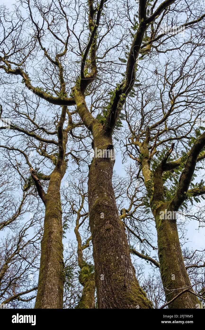 Les cendres Fraxinus poussent dans les bois de Metha, dans la vallée de Lappa, près de St Newlyn est, dans les Cornouailles. Banque D'Images
