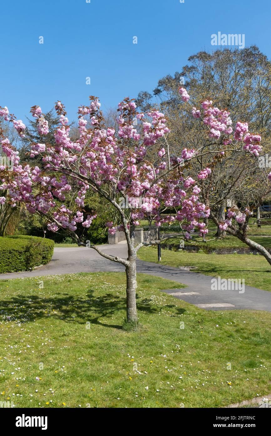 Un cerisier ornemental nain pleine fleur. Banque D'Images
