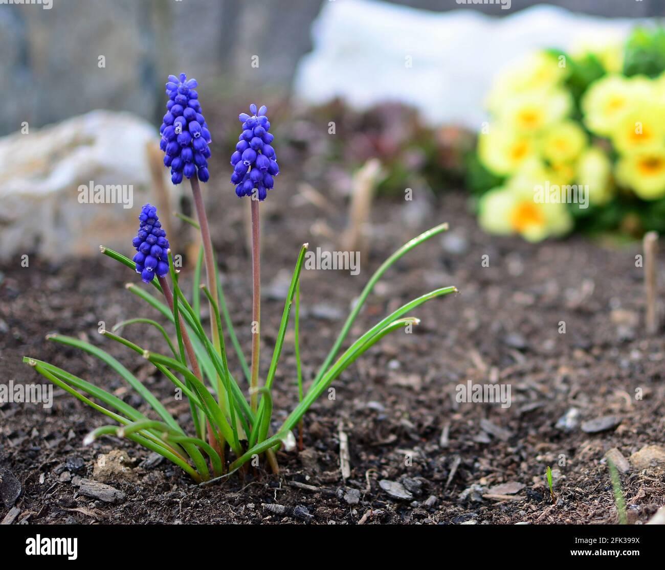 Gros plan de Blue Muscari armeniacum ou Armenian Grape jacinthe Bunch, croissant dans le jardin à partir du sol au début de la saison de printemps. Banque D'Images