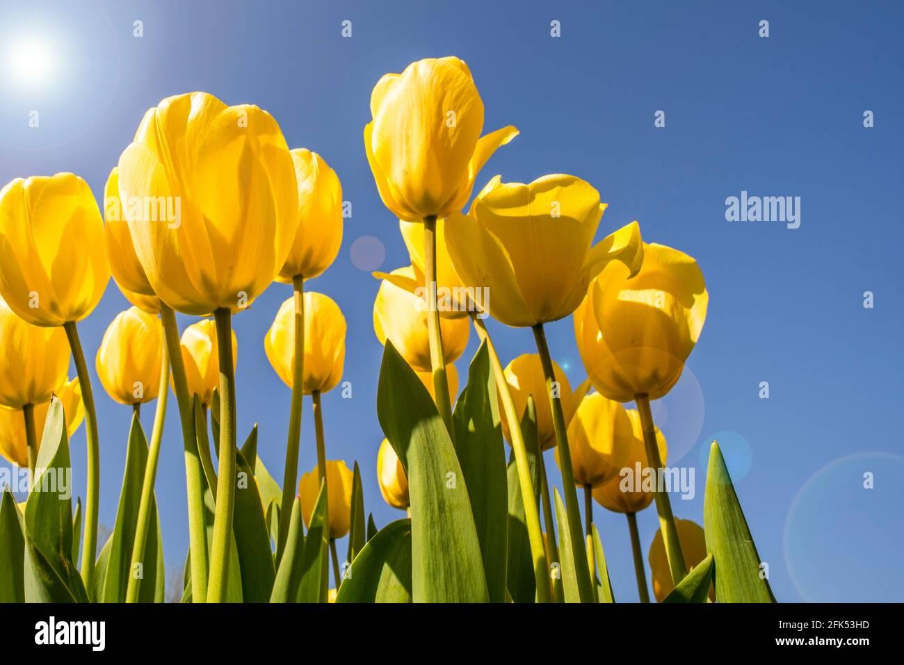 Vue de l'œil de ver montrant des tulipes jaunes (Tulipa sp.) fleurissant au printemps contre le ciel bleu Banque D'Images
