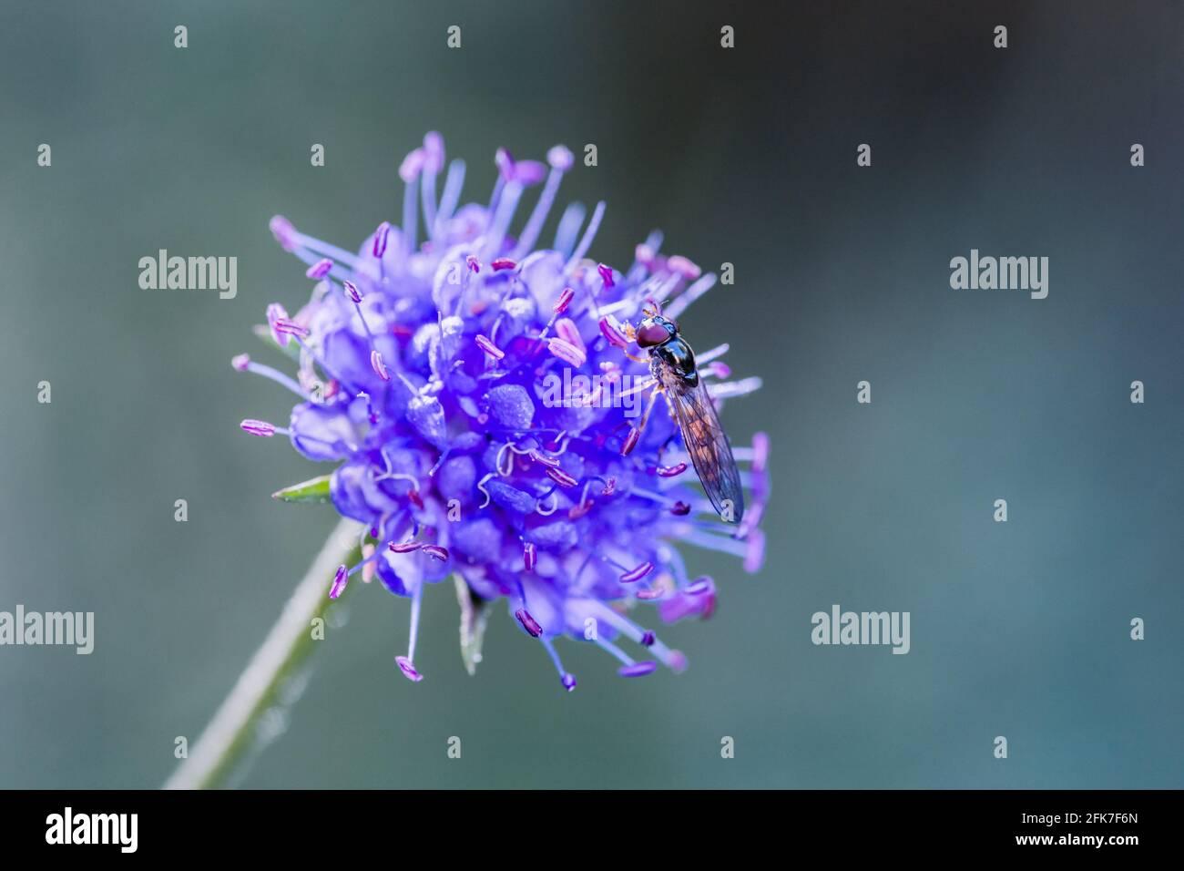 Melanostoma scalaare planer sur un Diable-bit Scabious Succisa pratensis Tête de fleur bleue ou violette dans les Highlands d'Écosse Banque D'Images
