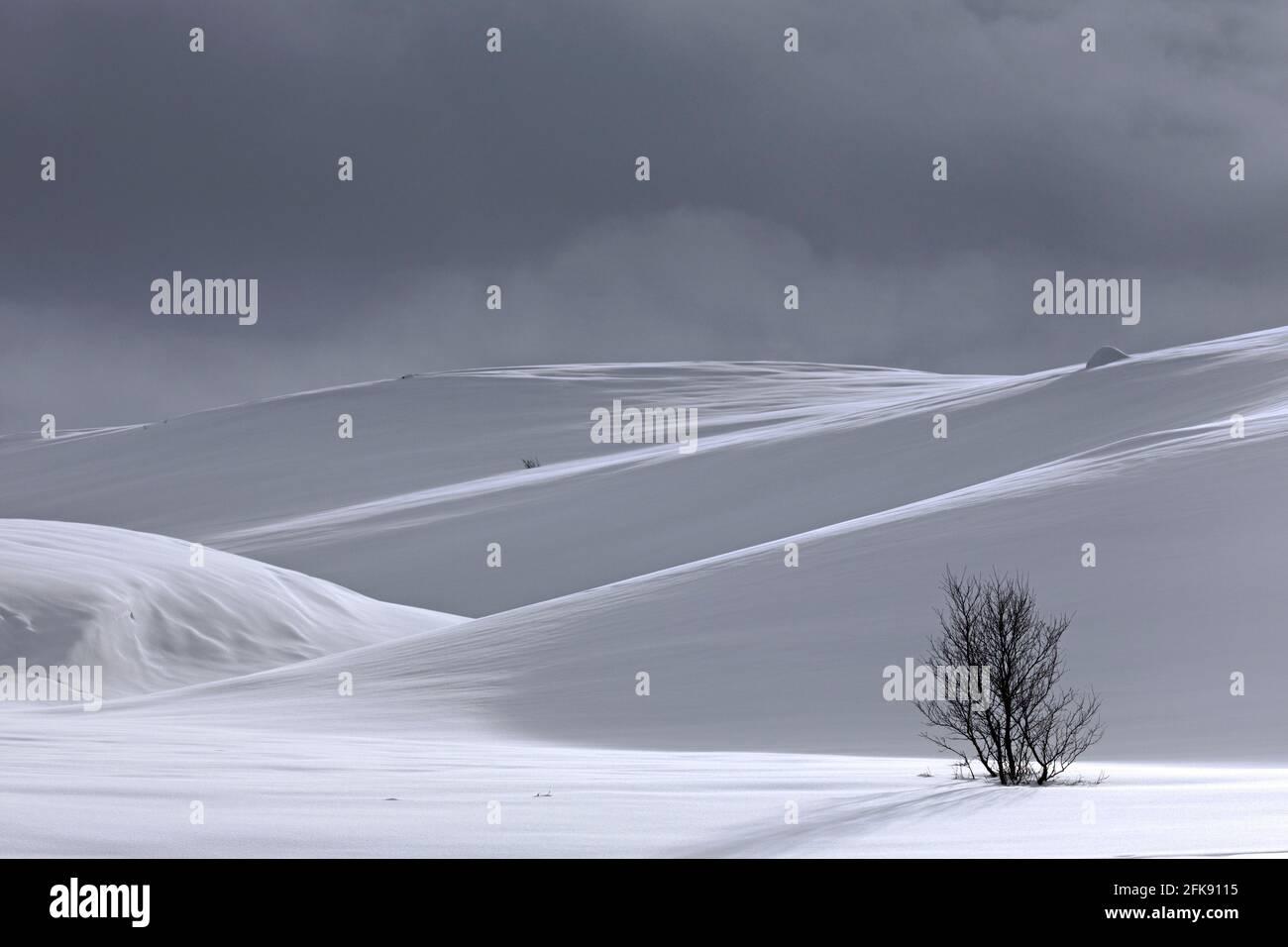 Bouleau solitaire dans un paysage enneigé dans le parc national de Dovrefjell–Sunndalsfjella en hiver, en Norvège Banque D'Images