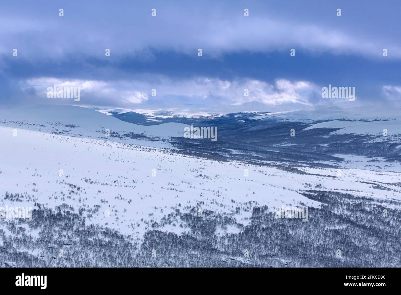 Forêt de bouleaux dans la neige au parc national de Dovrefjell–Sunndalsfjella en hiver, en Norvège Banque D'Images