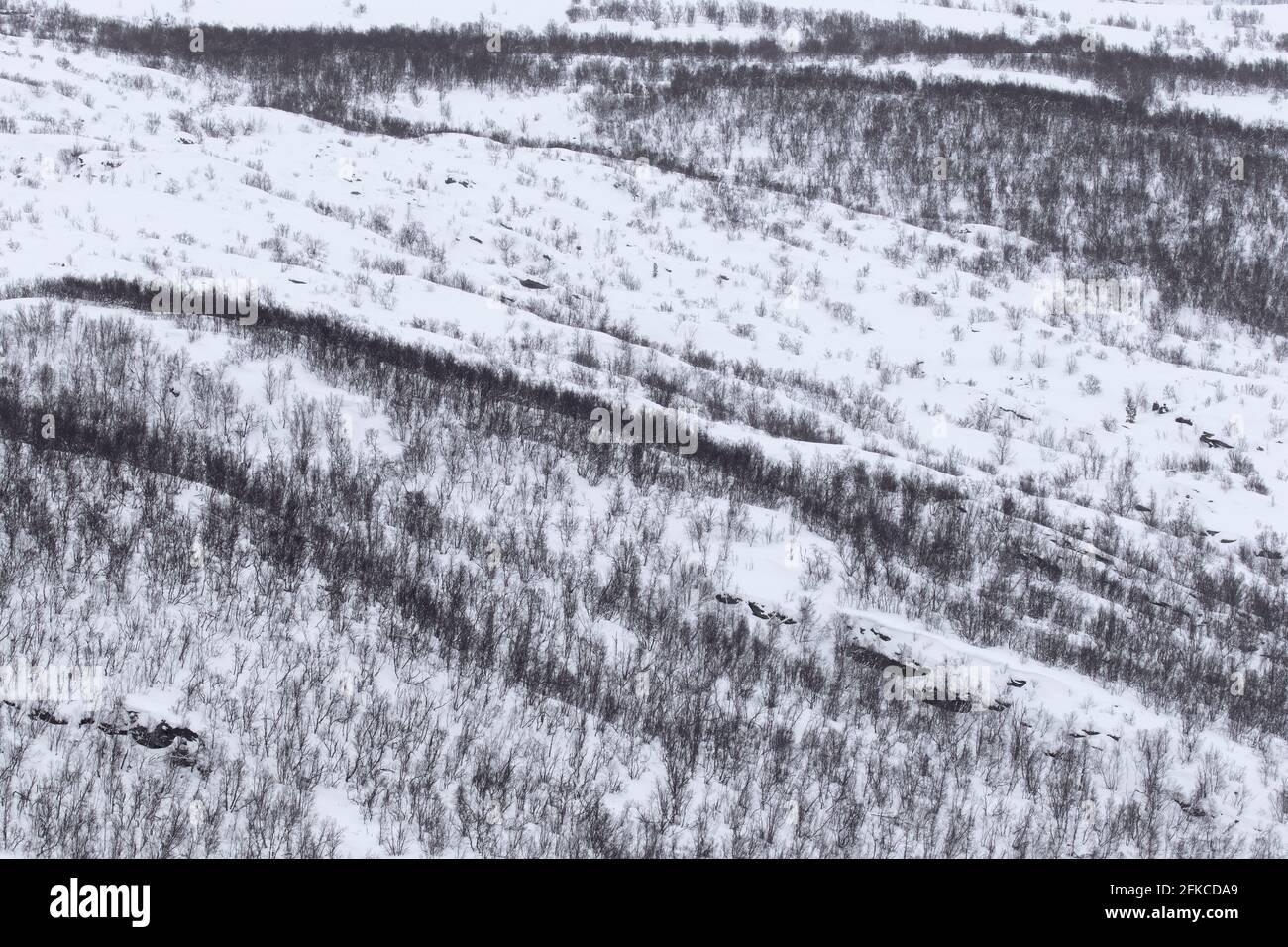 Vue aérienne sur les bouleaux dans la neige de la taïga/forêt boréale en hiver, parc national Dovrefjell–Sunndalsfjella, Norvège Banque D'Images