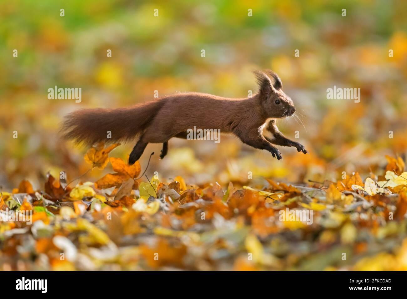 Écureuil rouge eurasien mignon (Sciurus vulgaris) en automne, le sol de la forêt est recouvert de litières de feuilles Banque D'Images