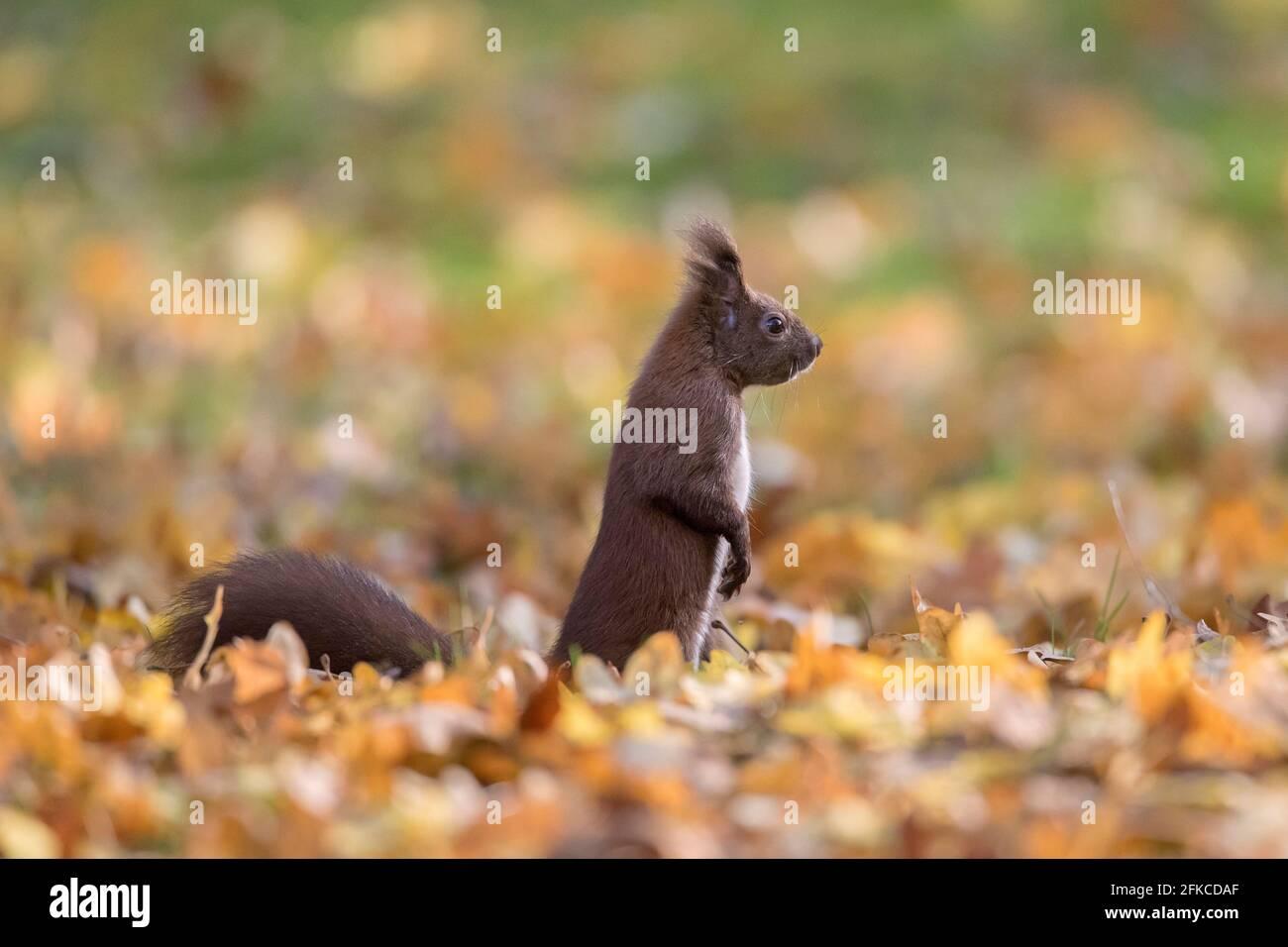 Alerte écureuil rouge eurasien (Sciurus vulgaris) recherche d'un danger au sol dans la litière de feuilles le plancher de la forêt en automne bois Banque D'Images