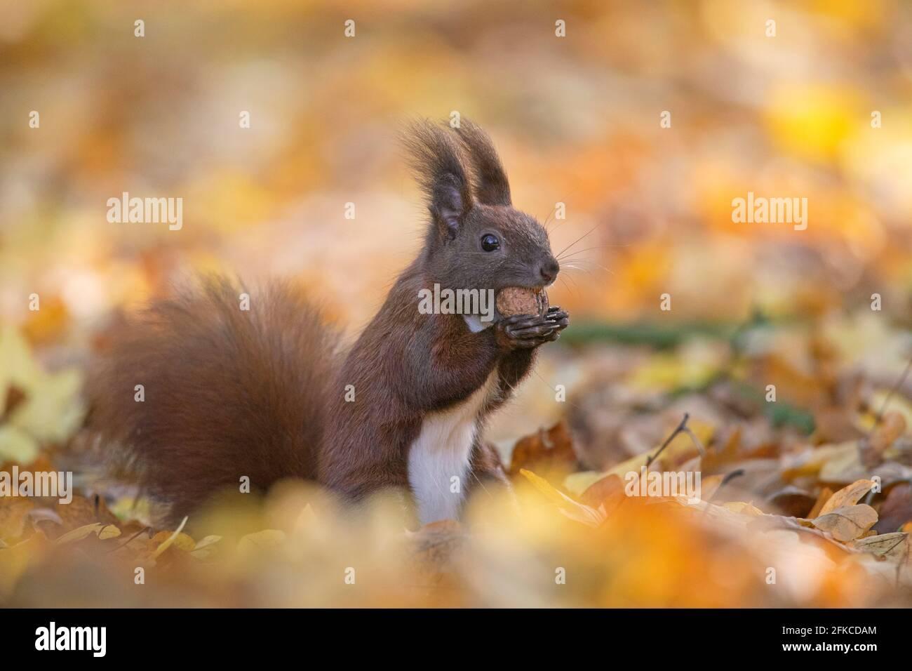 Écureuil rouge eurasien mignon (Sciurus vulgaris) recueillir les écrous sur le sol dans la litière de feuilles sur le plancher de forêt dans les bois d'automne Banque D'Images