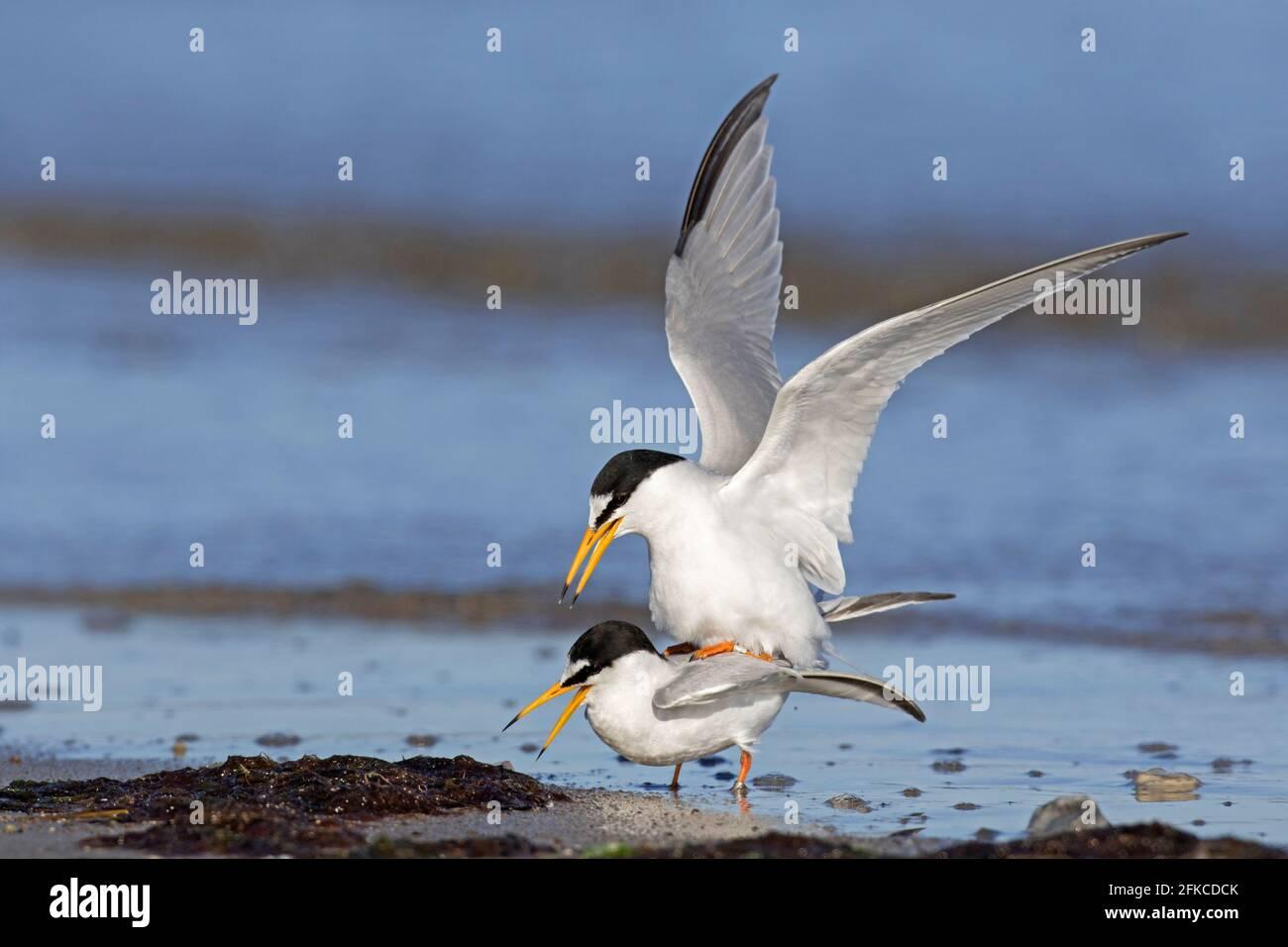 Petites sternes (Sternula albifrons / Sterna albifrons) copulation / accouplement, petite sterne mâle montage femelle sur la plage Banque D'Images