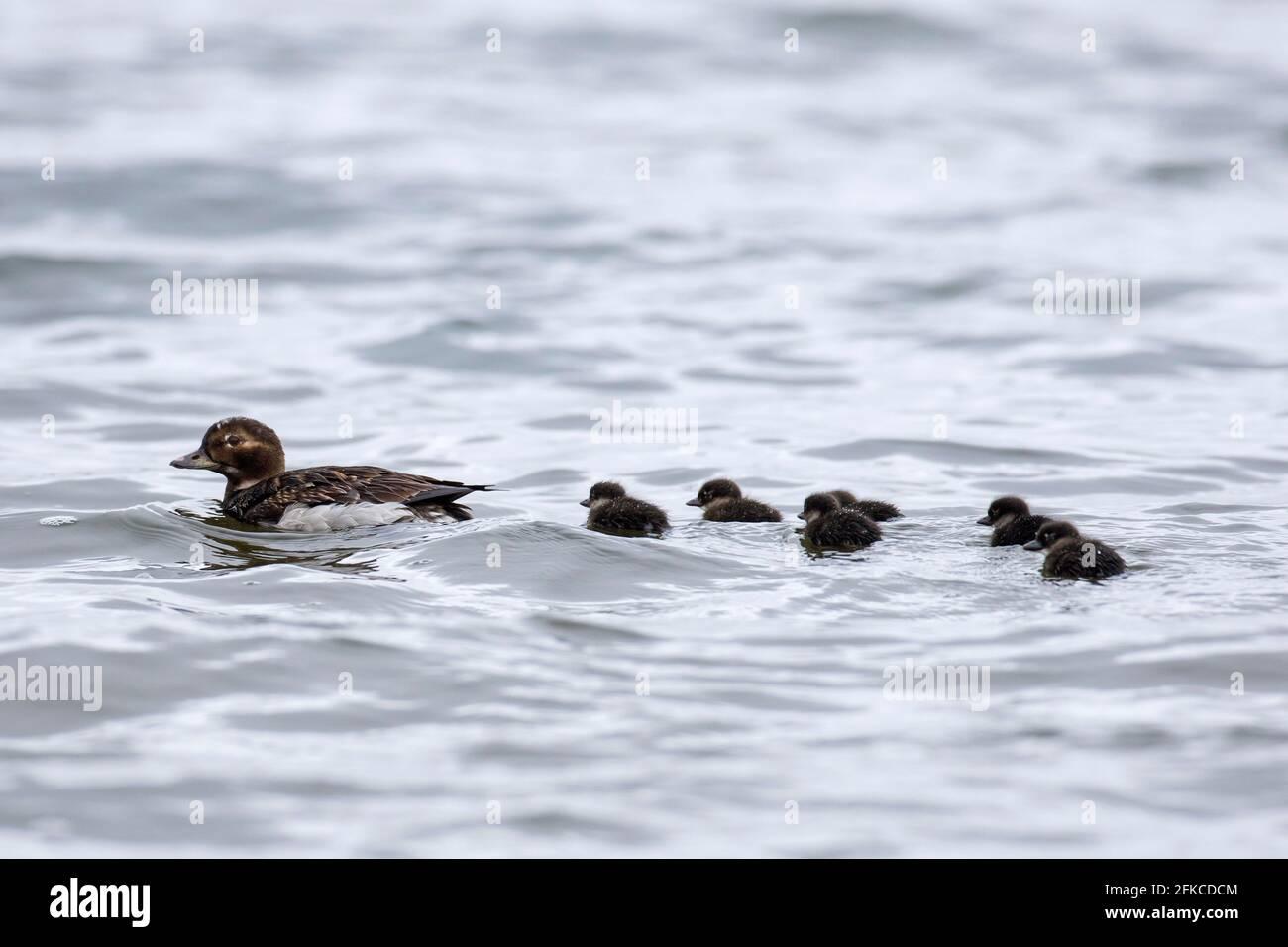 Canard à longue queue (Clangula hyemalis) femelle nageant en mer avec des canetons en été, Islande Banque D'Images